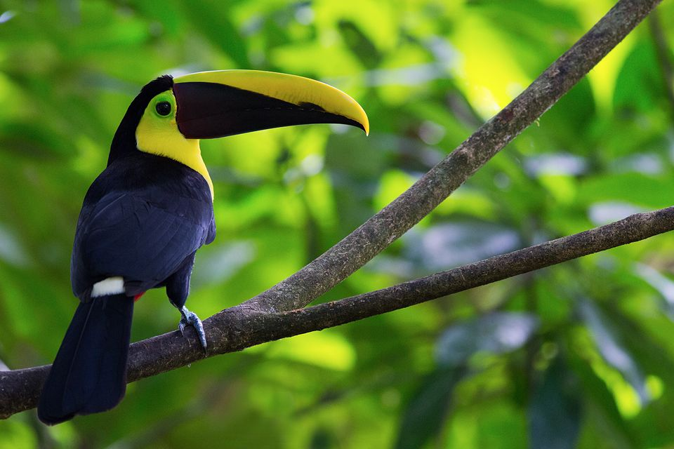 Posing chestnut-mandibled toucan (Ramphastos ambiguus). Canon 5D Mark III, Canon EF 400mm f/5.6 L USM, 1/250, f/5.6, iso 3200, handheld.