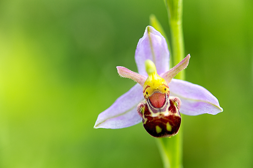 The bee orchid (Ophrys apifera) is one of the most beautiful orchis species in Dunea their nature reserves. Looks can be deceiving though: this particular flower is only 1,5 cm (0.59 inch) wide.
