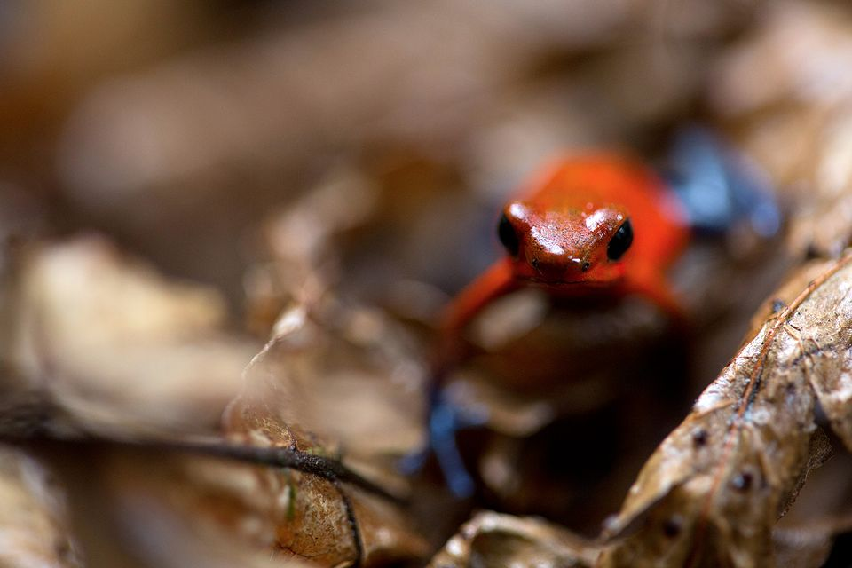 Tiny Oophaga pumilio between the leaf litter. Canon 5D MKIII, Canon EF 100mm f/2.8 USM Macro, 1/80, f/2.8, iso 2000, handheld