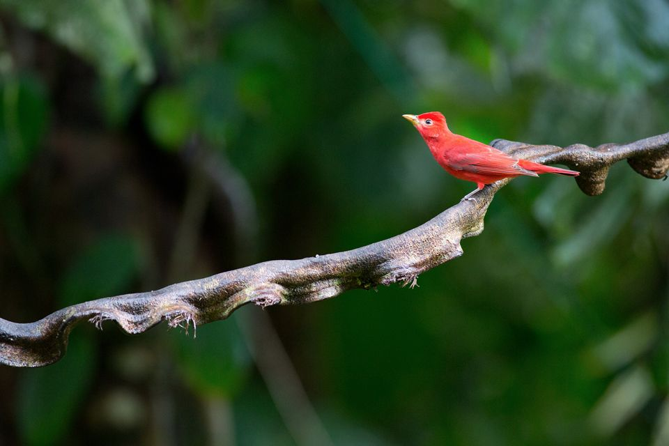 Fire-red Summer Tanager (Piranga rubra). Canon 5D Mark III, Canon EF 400mm f/5.6 L USM, 1/200, f/5.6, iso 3200, tripod.