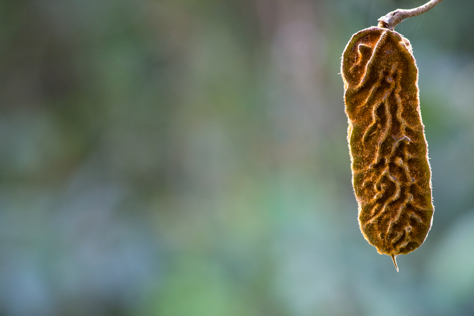 Seed pod of a Mucuna sp. Canon 5D Mark III, Canon EF 400mm f/5.6 L USM, 1/250, f/5.6, iso 3200, handheld.