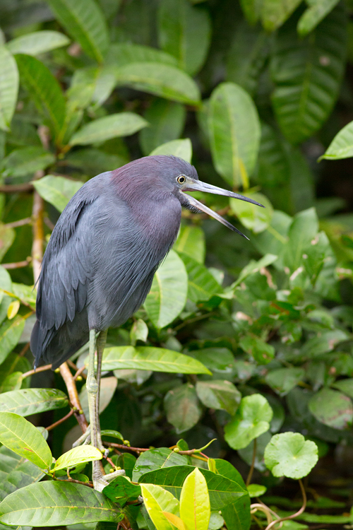 Little blue heron (Egretta caerulea). Canon 5D Mark III, Canon EF 400mm f/5.6 L USM, 1/200, f/5.6, iso 3200, handheld from boat.