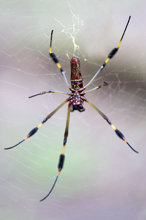 A 1:1 female golden orb-weaver (Nephila clavipes). Canon 5D MKIII, Canon EF 100mm f/2.8 USM Macro, 1/500, f/2.8, iso 100, handheld.