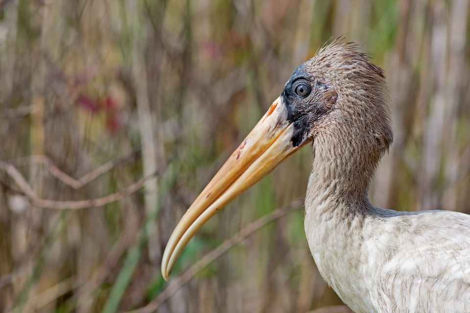 An threatened juvenile wood stork (Mycteria americana). Canon 5D Mark III, Canon EF 400mm f/5.6 L USM, 1/320, f/6.3, iso 125, handheld.