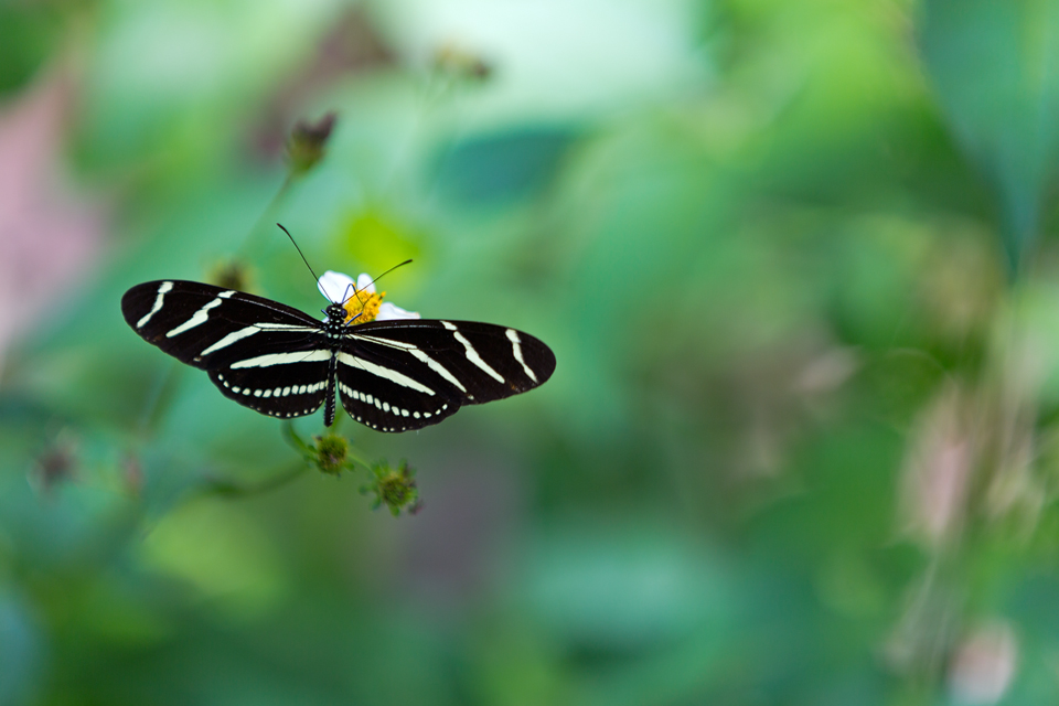 Florida's state butterfly: zebra longwing (Heliconius charithonia). Canon 5D Mark III, Canon EF 70-200mm f/2.8L IS II USM, 1/200, f/2.8, iso 100, handheld.