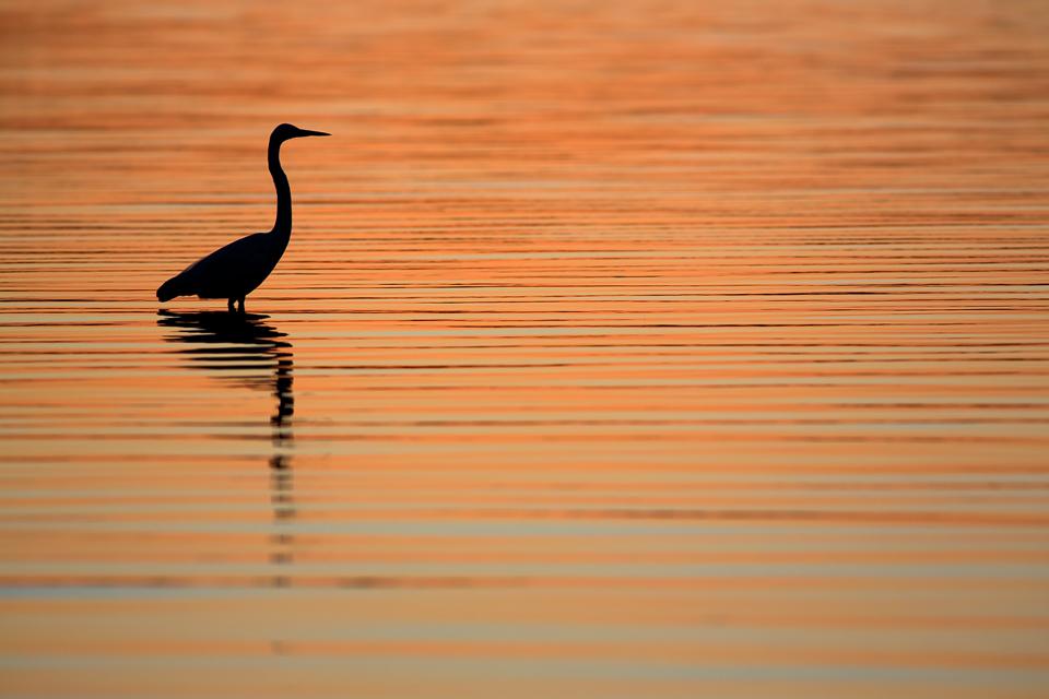 Silhouette of a great egret (Ardea alba). Canon 5D Mark III, Canon EF 400mm f/5.6 L USM, 1/320, f/6.3, iso 200, handheld.