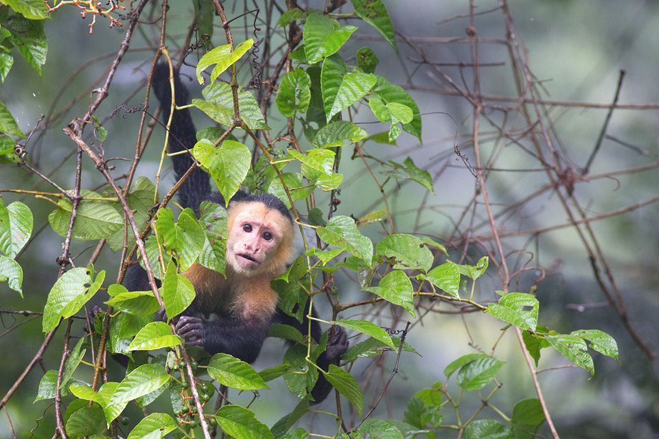 A white-headed capuchin (Cebus capucinus) along the river. Canon 5D Mark III, Canon EF 400mm f/5.6 L USM, 1/250, f/5.6, iso 3200, handheld from boat.