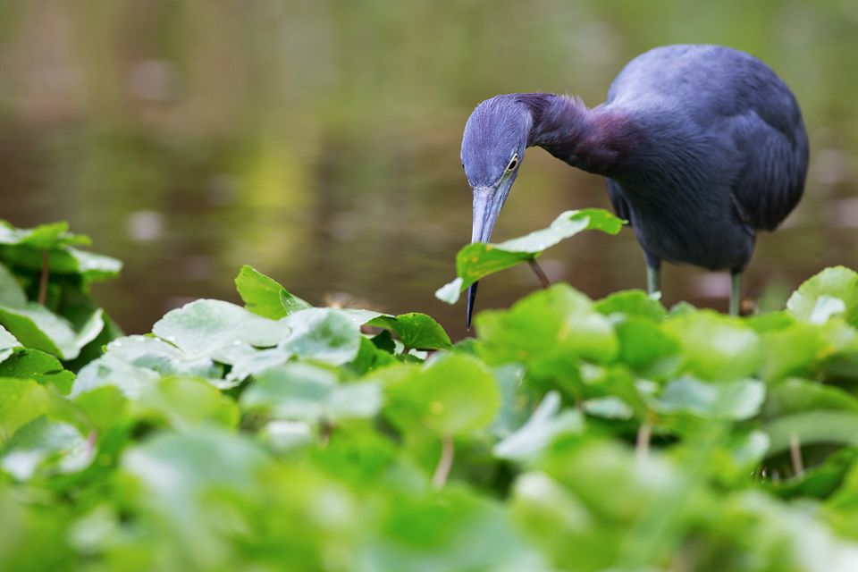A hunting little blue heron (Egretta caerulea). Canon 5D Mark III, Canon EF 400mm f/5.6 L USM, 1/320, f/6.3, iso 500, handheld from boat.