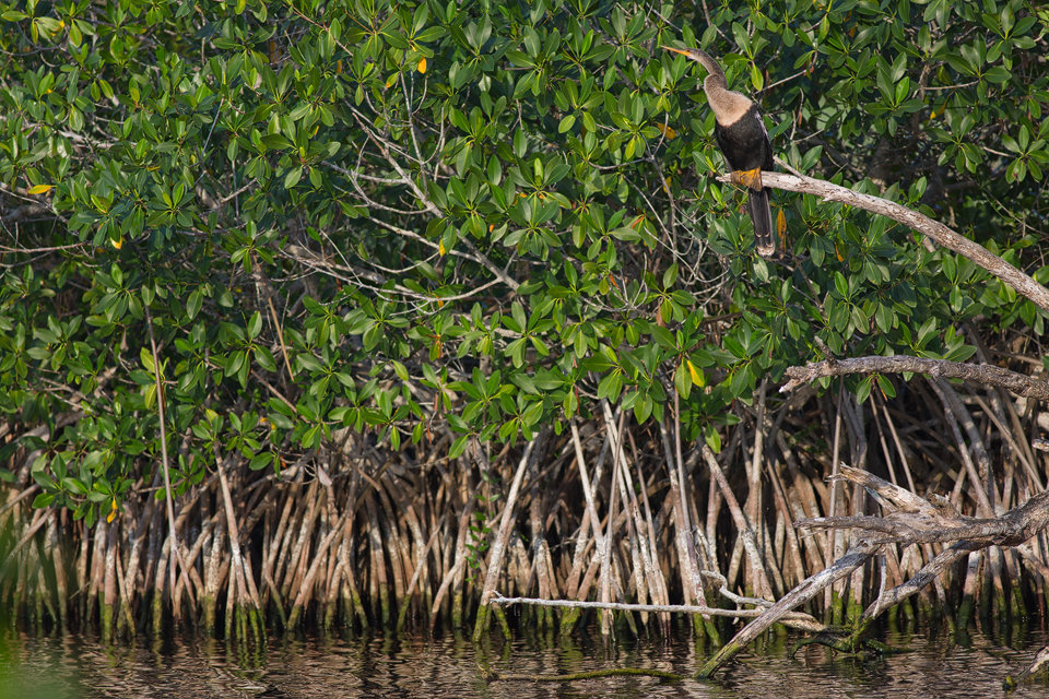 Anhinga (Anhinga anhinga) sitting in mangroves. Canon 5D Mark III, Canon EF 400mm f/5.6 L USM, 1/320, f/5.6, iso 320, handheld.