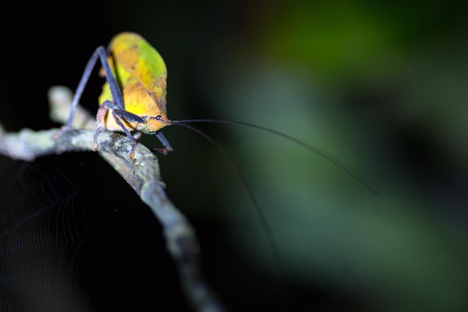 A camouflaged walking-leaf katydid (Mimetica mortuifolia). Canon 5D MKIII, Canon EF 100mm f/2.8 USM Macro, 1/250, f/2.8, iso 400, tripod, flashlight.
