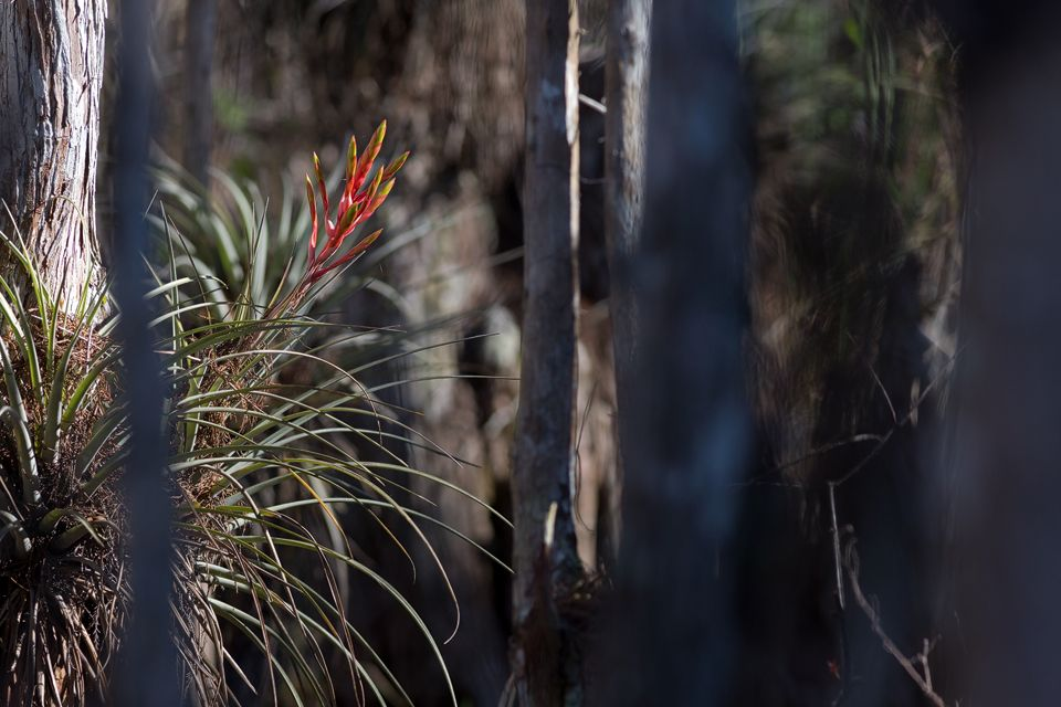 A giant airplant (Tillandsia fasciculata) between bald cypress (Taxodium distichum). Canon 5D Mark III, Canon EF 400mm f/5.6 L USM, 1/500, f/6.3, iso 400, handheld.