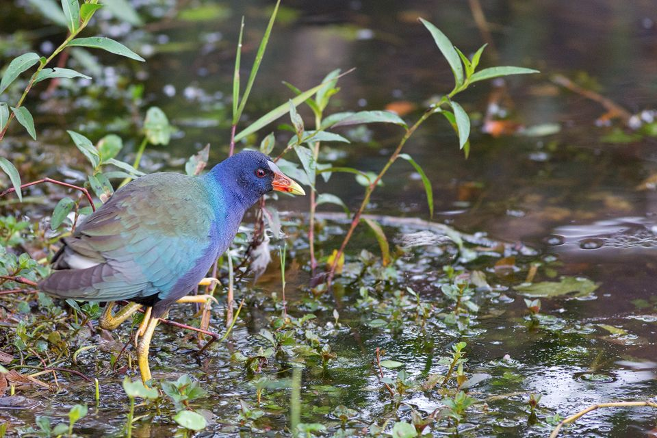 The colorful purple gallinule (Porphyrio martinicus). Canon 5D Mark III, Canon EF 400mm f/5.6 L USM, 1/60, f/5.6, iso 3200, handheld.