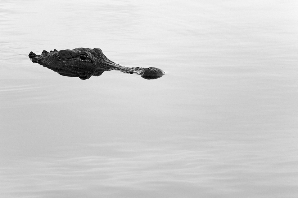 B&W alligator (Alligator mississippiensis). Canon 5D Mark III, Canon EF 400mm f/5.6 L USM, 1/320, f/5.6, iso 1000, handheld.