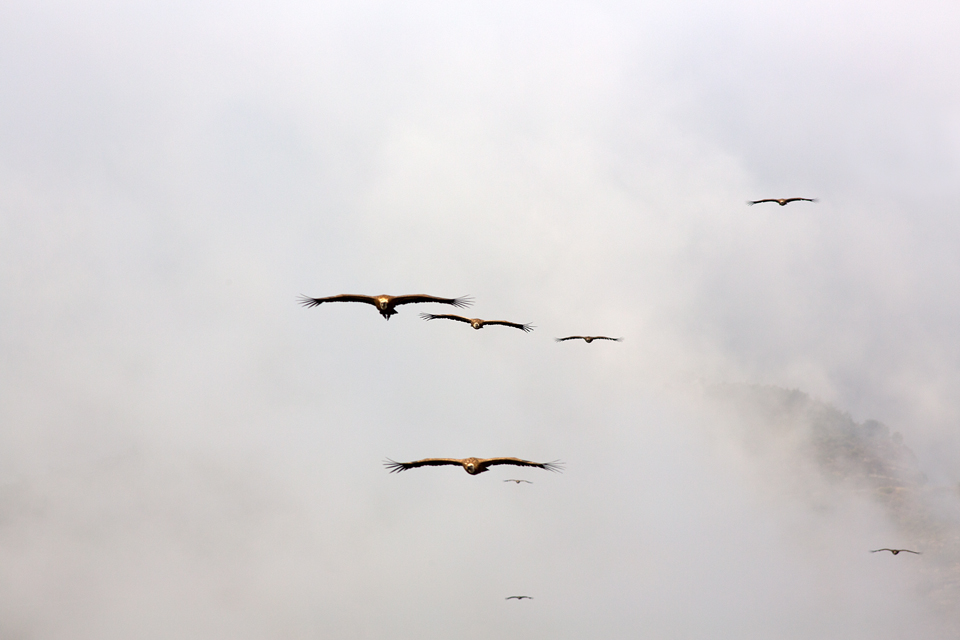 Swarms of Griffon Vulture (Gyps fulvus) descending from their roosting spot in the fog. Canon 5D MKIII, Canon EF 400mm f/5.6 L USM, 1/400, f/9, iso 200, tripod.