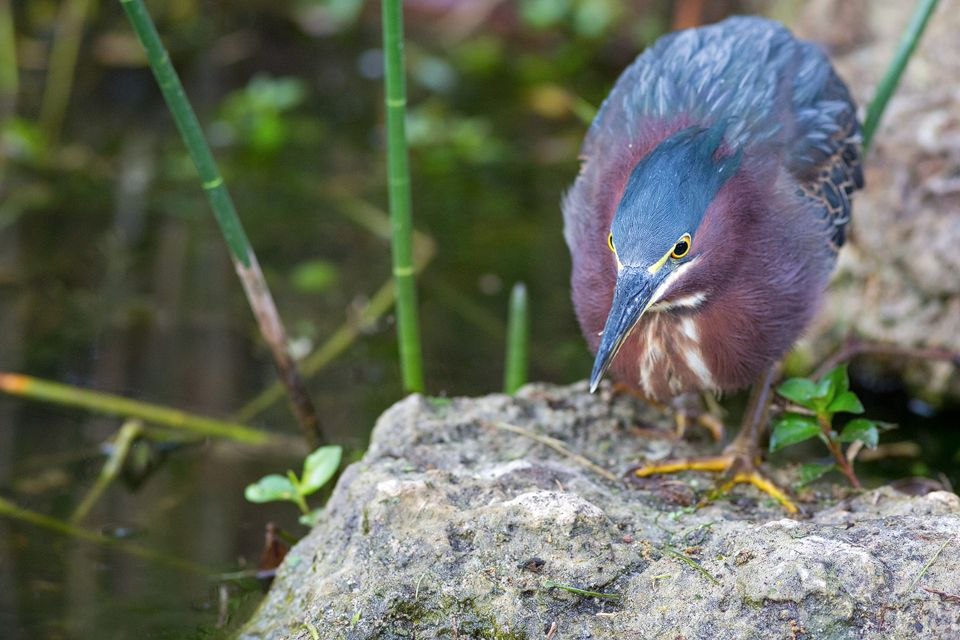 A green heron (Butorides virescens) fishing. Canon 5D Mark III, Canon EF 400mm f/5.6 L USM, 1/250, f/5.6, iso 3200, handheld.