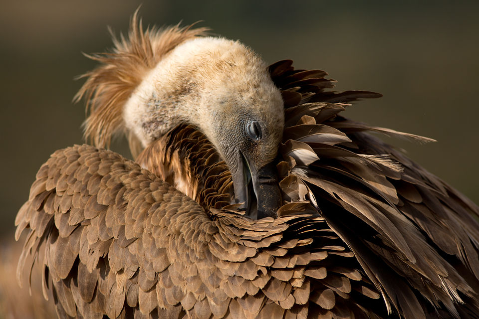 A Griffon Vulture (Gyps fulvus) grooming its feathers.  Canon 5D MKIII, Canon EF 400mm f/5.6 L USM, 1/400, f/5.6, iso 100, tripod.