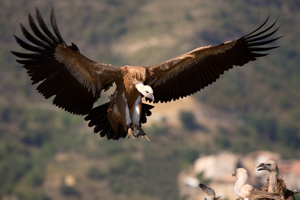 Griffon Vultures (Gyps fulvus) against the backdrop of a small village. Canon 5D MKIII, Canon EF 400mm f/5.6 L USM, 1/500, f/5.6, iso 100, tripod.