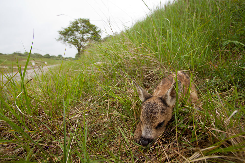 A two hour old roe deer fawn (Capreolus capreolus) near a 'sprang'. Canon 50D, Canon EF-S 10-22mm f/3.5-4.5 USM, 1/80, f/5, iso 100, handheld.