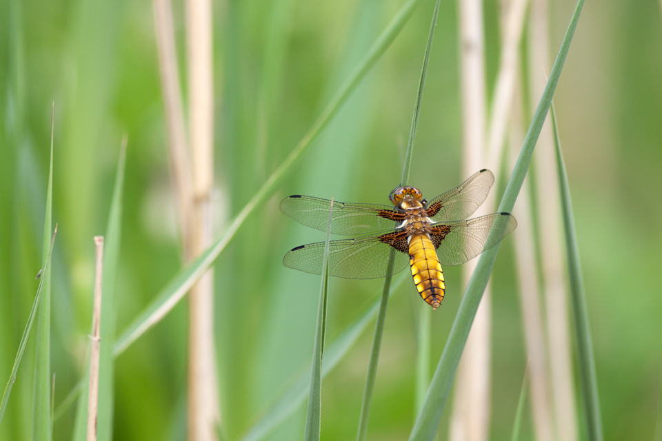 A female Broad-bodied Chaser (Libellula depressa). Canon 50D, Canon EF 100mm f/2.8 USM Macro Lens, 1/400, f/5.6, iso 250, handheld.