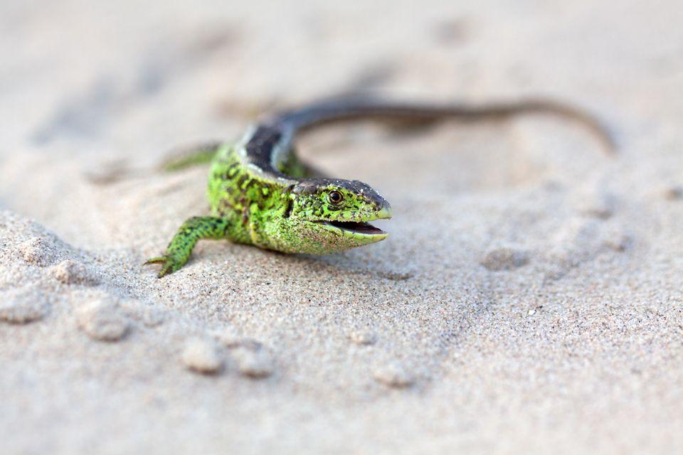 A male sand lizard (Lacerta agilis). Canon 50D, Canon EF 100mm f/2.8 USM Macro, 1/250, f/4, iso 250, handheld.