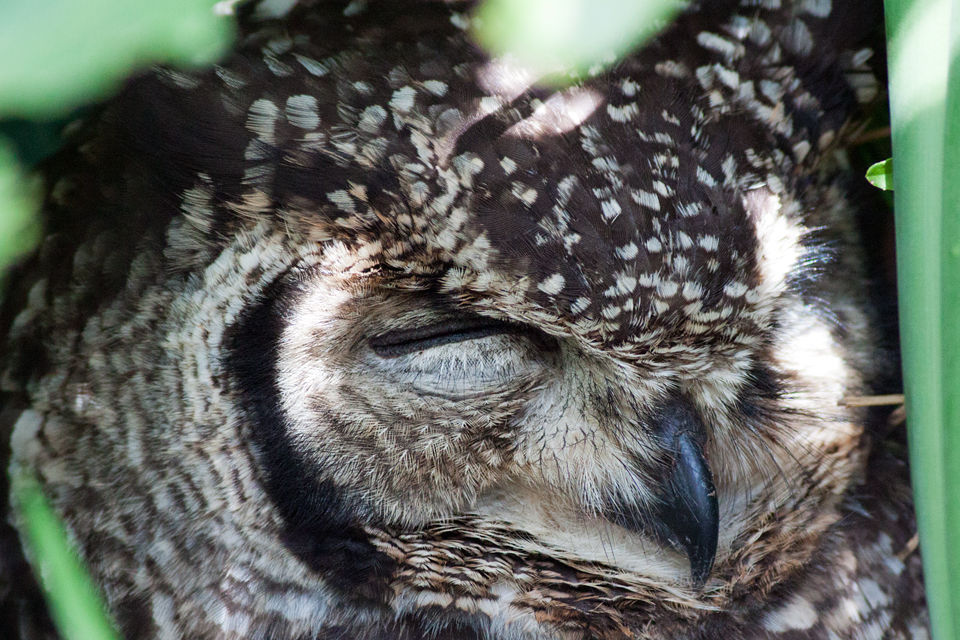 A roosting cape eagle-owl (Bubo capensis). Canon 50D, Canon EF 400mm f/5.6 L USM, 1/250, f/5.6, iso 1600, handhold.