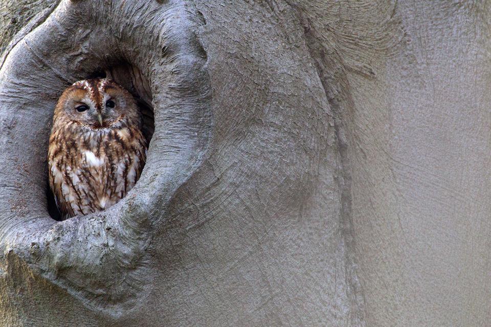 A Tawny Owl (Strix aluco). Canon 1D MKIV, Canon EF 500mm f/4L IS USM, 1/100, f/11, iso 1600, Canon EF 2x II Extender, tripod.
