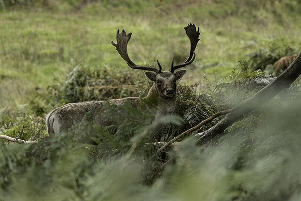 Deer in bracken Bradgate Park