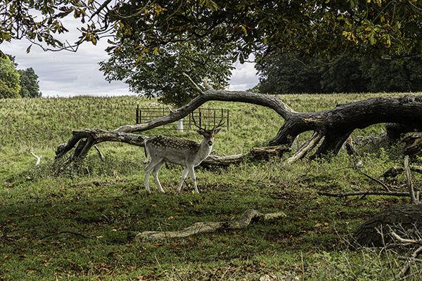 Young Fallow Deer Buck.