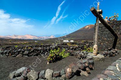 Vines in volcanic  ash.