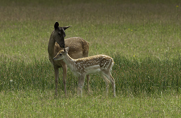 Fawn with Doe.