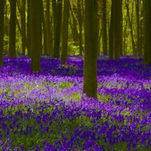 Bluebell Wood, Micheldever, Hampshire,England