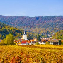 Autumn vineyard, Palatinate ( Pfaizerwald ),Germany