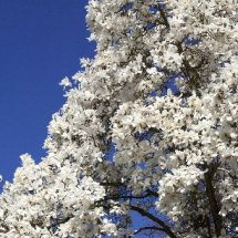 White magnolia tree in blossom