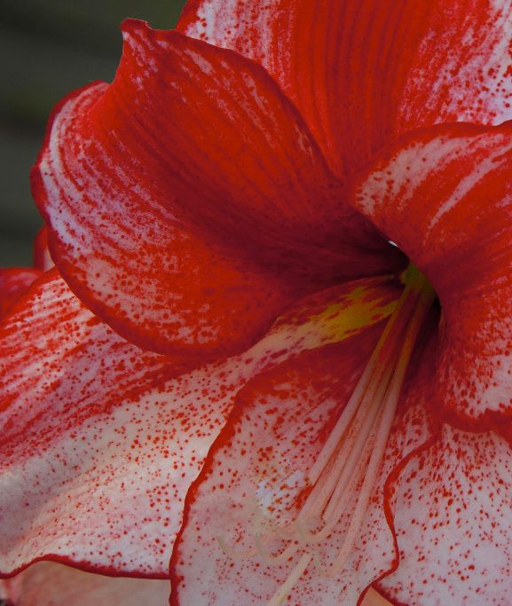 Red Hippeastrum Charisma