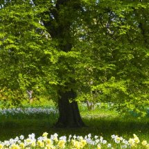 Daffodils & Narcissus under Tree