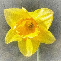 Single Daffodil with grain effect.