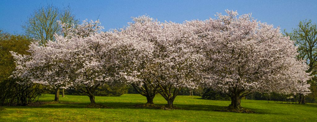 Group of trees in pink blossom in springtime.