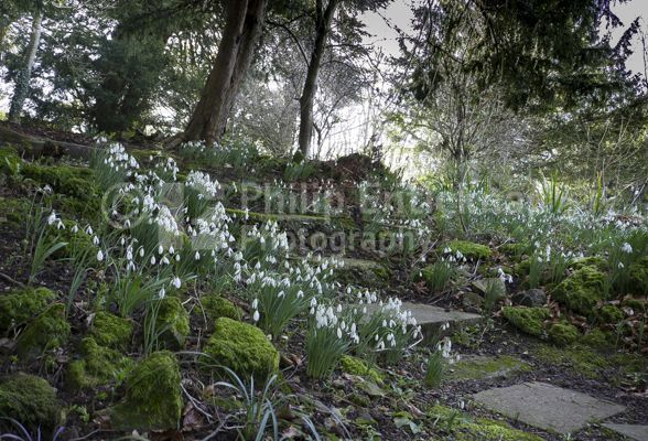 Snowdrops in the grounds of Chawton House .Hampshire