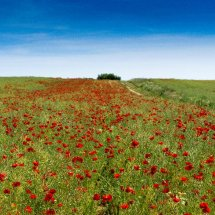 Poppy Field near The Chantries Guildford
