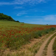 """""""NEW """" June 2020. Poppy Field near The Chantries Guildford"""
