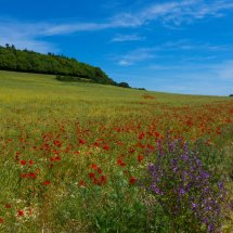 """NEW "" June 2020. Poppy Field near The Chantries Guildford"