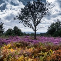 A lone tree amongst the heather
