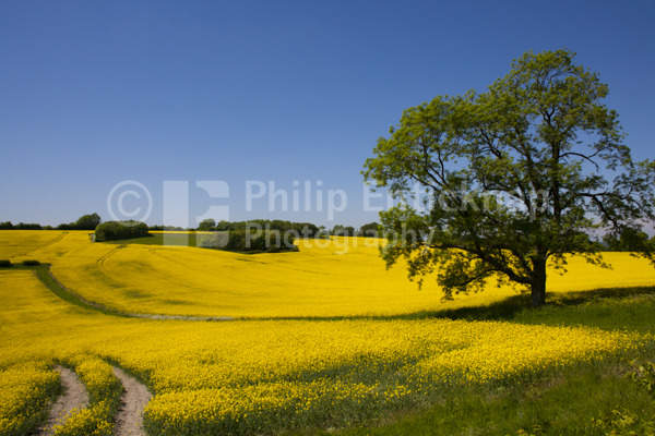 Rapeseed field,West Sussex, England