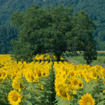 Sunflowers and Tree, Dordogne, France.