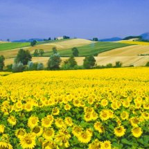 Sunflower field Umbria ,Italy