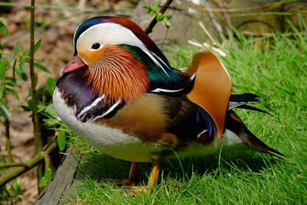 Mandarin Duck makes rare visit to Sanderstead Ponds