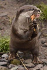 Otters lunch