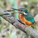 Kingfisher at Lunch