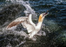 Gannet with Fish