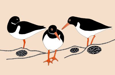Oystercatchers In Circles